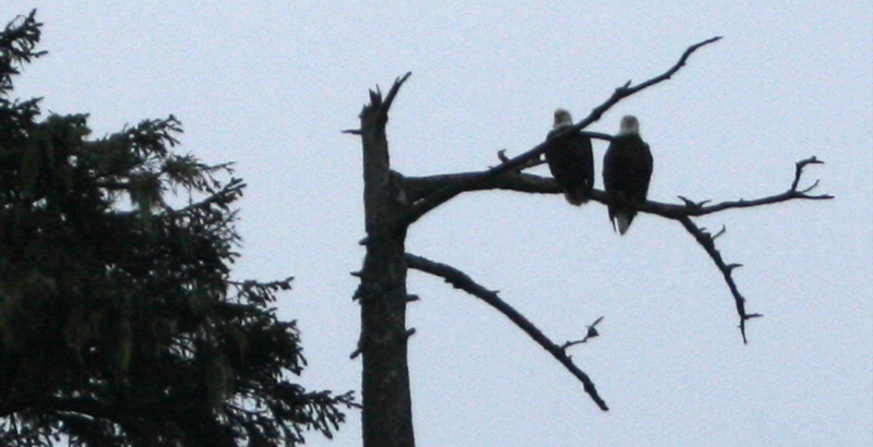 Two Bald Eagles, Fogarty Creek State Park